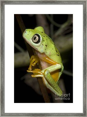 Tree Frog Framed Print by Dante Fenolio