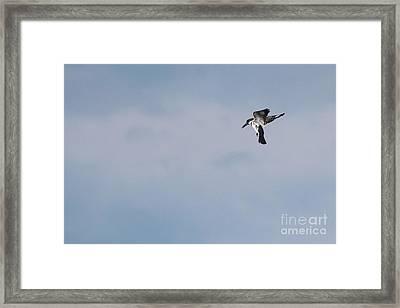 Belted Kingfisher Framed Print by Jack R Brock