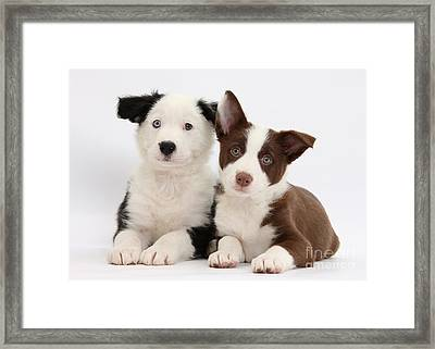 Border Collie Puppies Framed Print by Mark Taylor