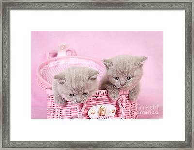 British Shorthair Kitten Framed Print by Waldek Dabrowski