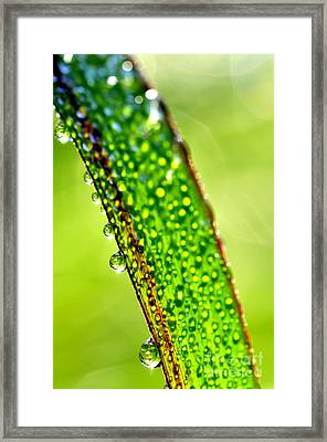 Dewdrops On Lemongrass Framed Print by Thomas R Fletcher