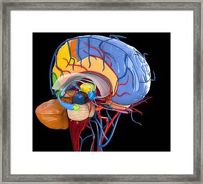 Human Brain Anatomy, Artwork Framed Print by Roger Harris