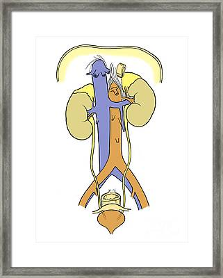 Illustration Of Female Urinary System Framed Print by Science Source