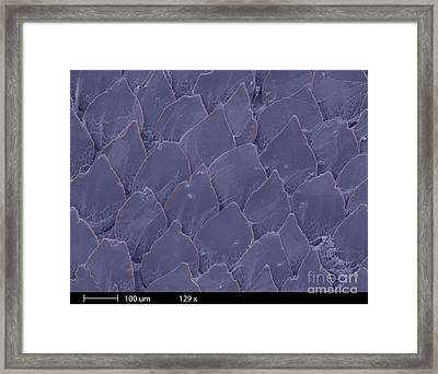 Shark Skin, Sem Framed Print by Ted Kinsman