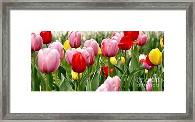 Tulip Garden University Of Pittsburgh  Framed Print