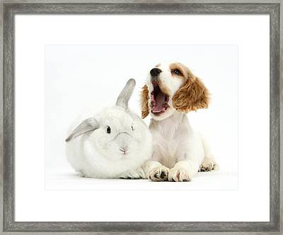 Cocker Spaniel And Rabbit Framed Print by Mark Taylor