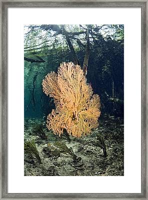 Corals In A Mangrove Swamp Framed Print by Georgette Douwma