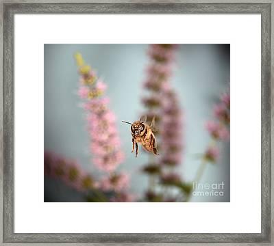 Honey Bee In Flight Framed Print by Ted Kinsman