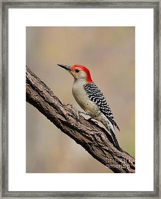 Red-bellied Woodpecker Framed Print by Jack R Brock