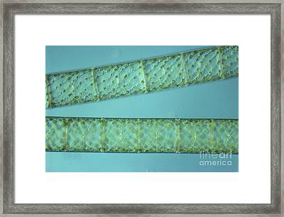 Spirogyra Sp. Algae Lm Framed Print by M. I. Walker