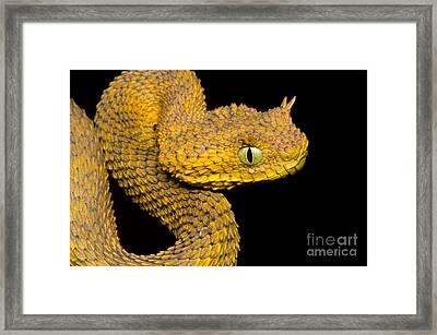 Usambara Eyelash Bush Viper Framed Print by Dante Fenolio