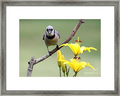Blue Jay Framed Print by Jack R Brock