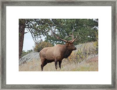8x6 Bull Elk Framed Print by David Wilkinson
