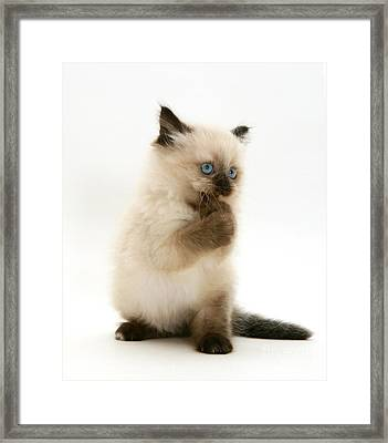 Birman-cross Kitten Framed Print by Jane Burton