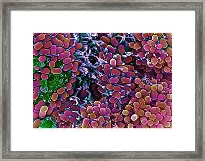 E. Coli Bacteria, Sem Framed Print