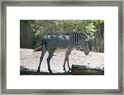 Lincoln Park Zoo In Chicago Framed Print