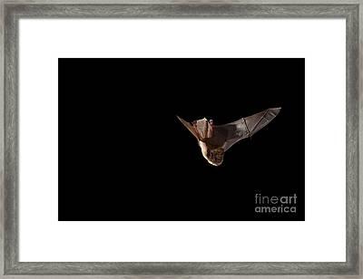 Little Brown Bat Framed Print