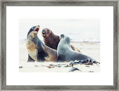 Sea Lions Framed Print by MotHaiBaPhoto Prints