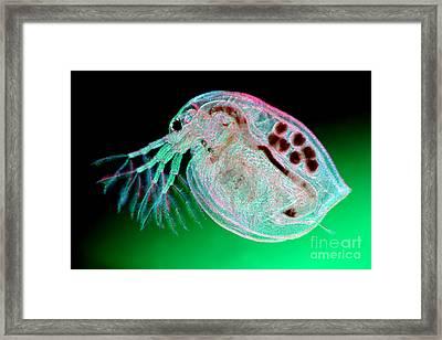 Water Flea Daphnia Magna Framed Print by Ted Kinsman