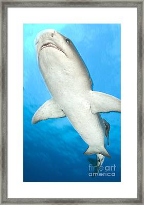 Whitetip Reef Shark, Kimbe Bay, Papua Framed Print