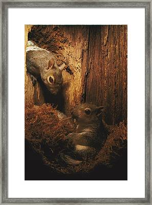 A A Baby Eastern Gray Squirrel Sciurus Framed Print by Chris Johns
