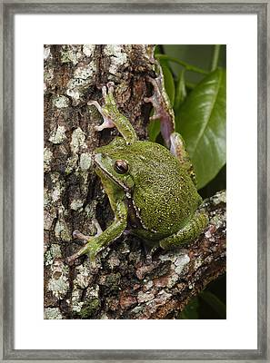 A Barking Treefrog Sits On The Crotch Framed Print by George Grall