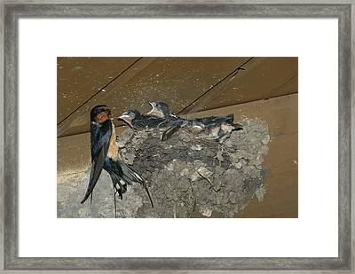 A Barn Swallow Mother Feeds Her Young Framed Print
