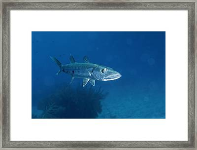 A Barracuda Fish Sphyraena Species Framed Print by Wolcott Henry