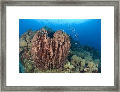 A Barrel Sponge Attached To A Reef Framed Print by Steve Jones