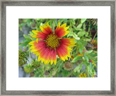 Framed Print featuring the photograph A Beautiful Blanket Flower by Ashish Agarwal