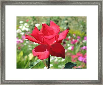 Framed Print featuring the photograph A Beautiful Red Flower Growing At Home by Ashish Agarwal