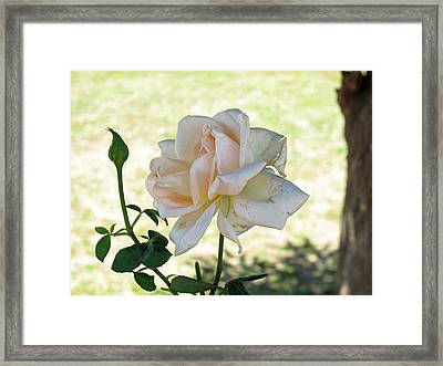 Framed Print featuring the photograph A Beautiful White And Light Pink Rose Along With A Bud by Ashish Agarwal
