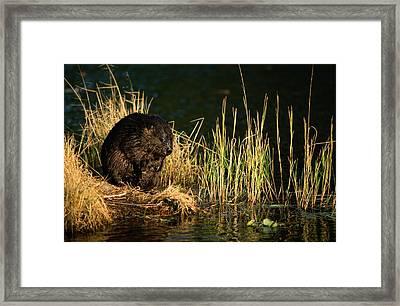 A Beaver Castor Canadensis Perches Framed Print by Tim Laman