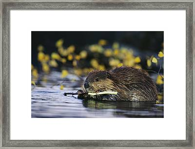A Beaver Eating The Bark Off Of A Small Framed Print by Michael S. Quinton