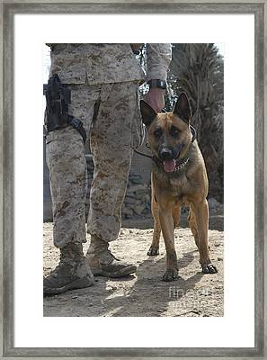 A Belgium Malonois Military Working Dog Framed Print by Stocktrek Images
