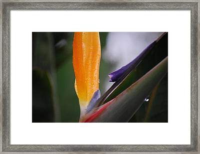 A Bird Of Paradise I Framed Print