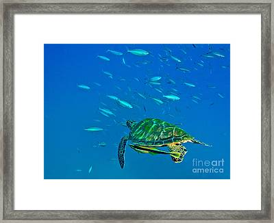 A Black Sea Turtle With Remora Swim Framed Print
