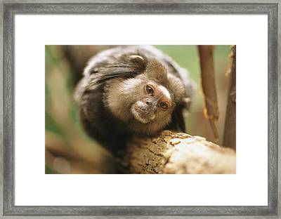 A Black Tufted-ear Marmoset Clings Framed Print by Joel Sartore