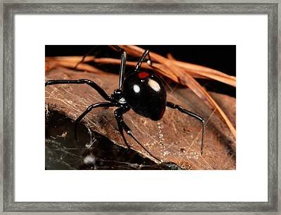 A Black Widow Spider Latrodectus Framed Print by George Grall