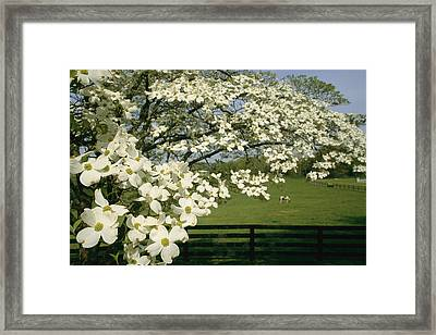 A Blossoming Dogwood Tree In Virginia Framed Print by Annie Griffiths