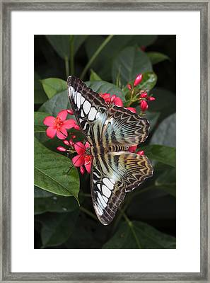 A Blue Clipper Butterfly Feeds Framed Print by George Grall