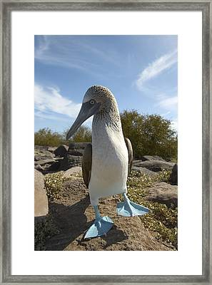 A Blue-footed Booby Of The Galapagos Framed Print by Ralph Lee Hopkins