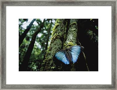 A Blue Morpho Butterfly Framed Print by Joel Sartore