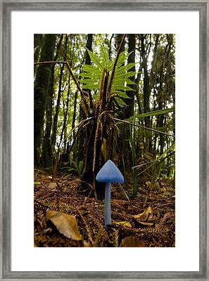A Blue Mushroom, Enteloma Hochstetteri Framed Print by Bill Hatcher