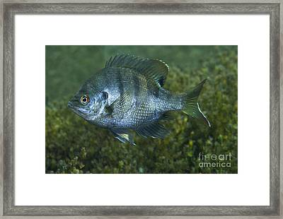 A Bluegill Freshwater Fish In Morrison Framed Print by Michael Wood