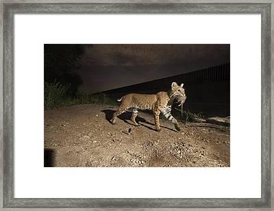 A Bobcat Crosses A Rio Grande Border Framed Print by Joel Sartore