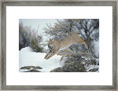 A Bobcat Leaps With A Horned Lark Framed Print