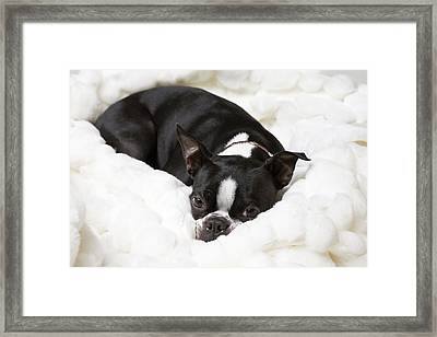 A Boston Terrier Rests On A Puffy White Framed Print by Hannele Lahti