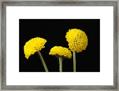 A Bouquet Of Button Chrysanthemums Framed Print by Joel Sartore
