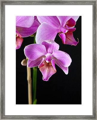 A Brilliant Orchid Framed Print by Charlie Osborn
